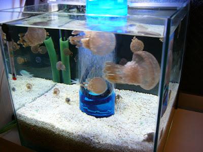 章魚水母 日本