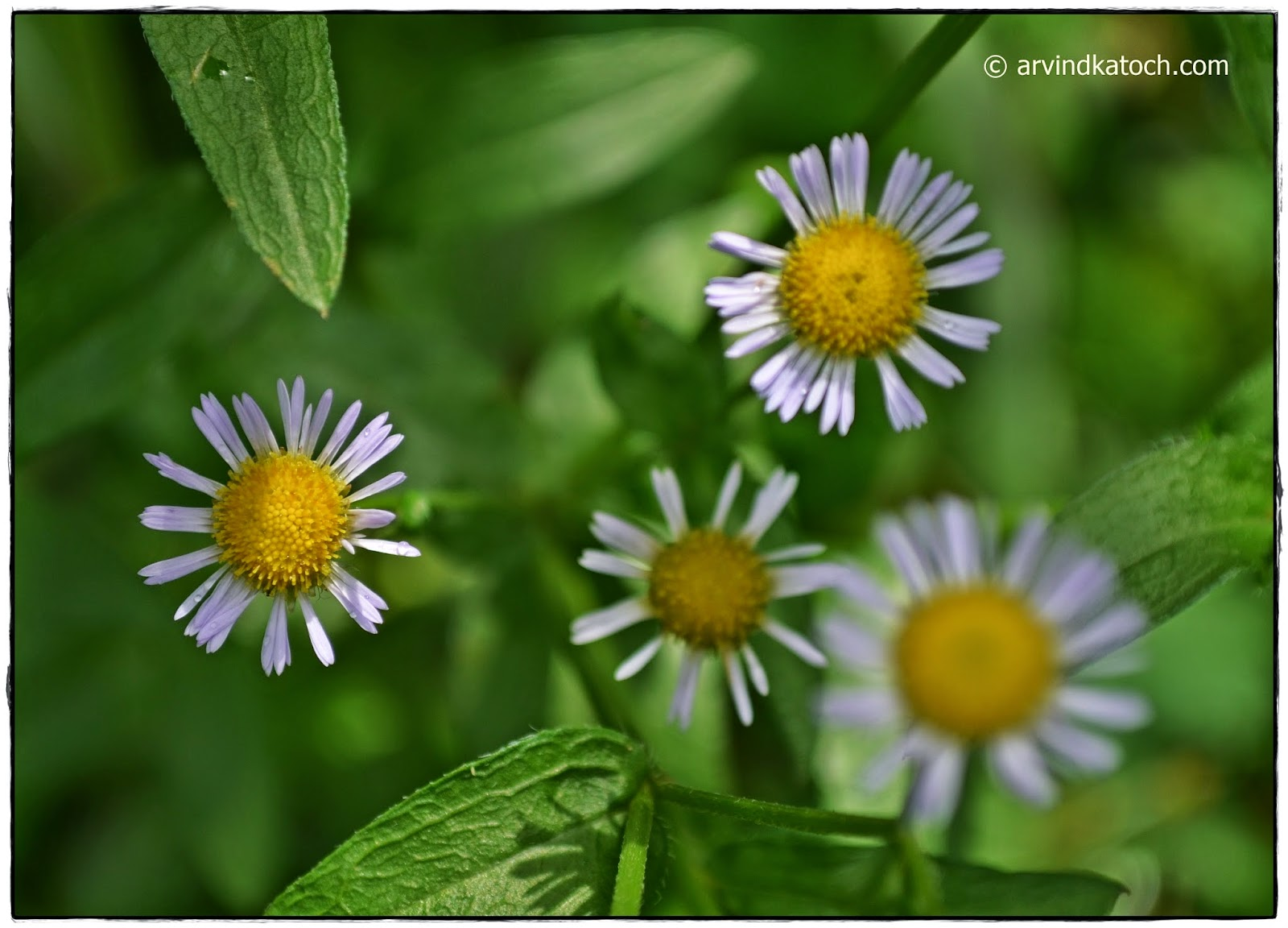 Arvind Katoch Photography Beautiful Tiny White Flowers With Yellow