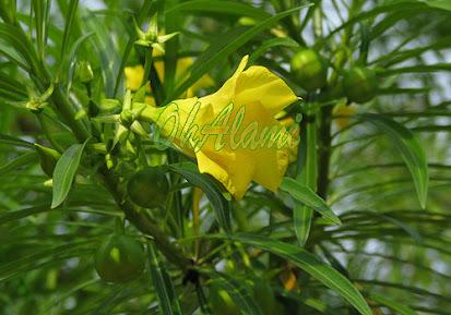 Ginje (Thevetia Peruviana)