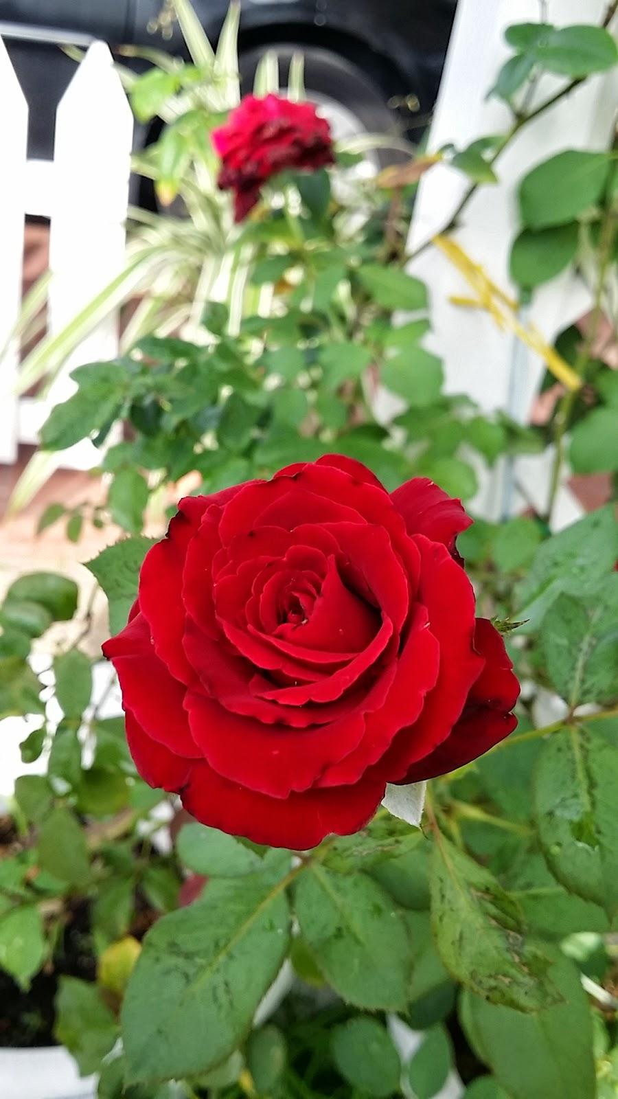 Bunga Rose