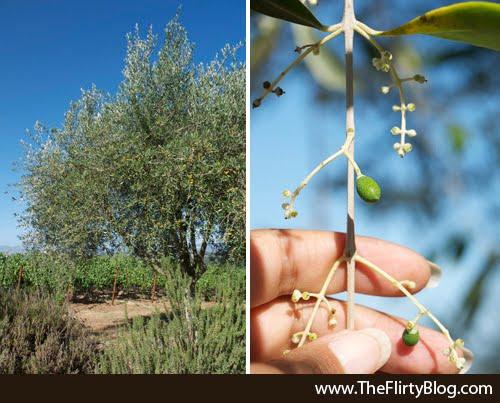 Olive Trees, Baker Ridge