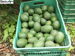 Aguacates 2011