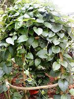 Manfaat dan kegunaan daun Binahong....!!!