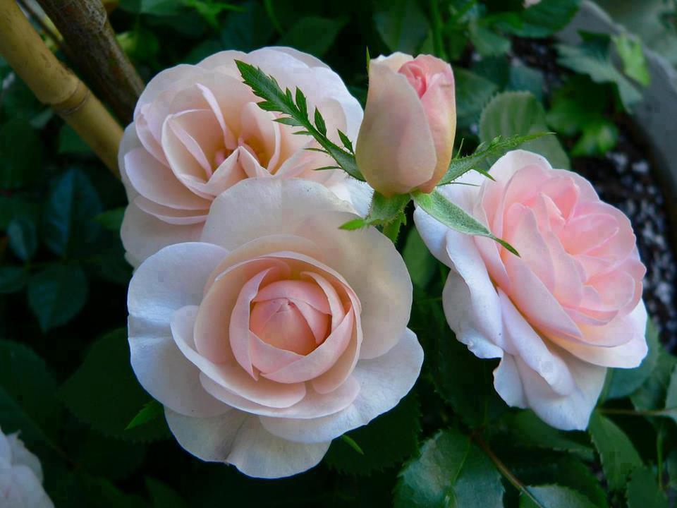 Im genes de flores bonitas 20 fotos imagenes - Fotos de flores bonitas ...
