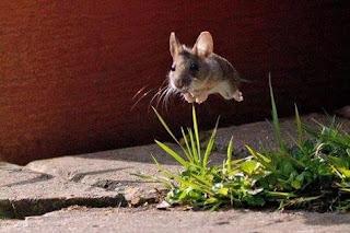 Chú chuột biết bay