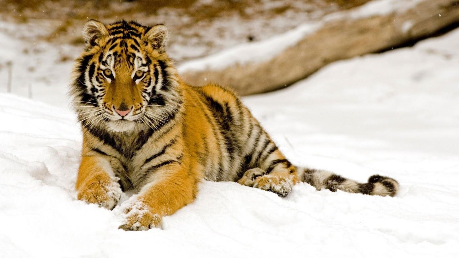 fotos de tigres en la nieve fotos e im genes en fotoblog x. Black Bedroom Furniture Sets. Home Design Ideas
