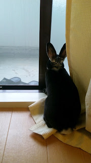 窓の外を見るうさぎ、ミニレッキスのモモタス