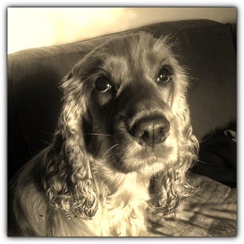 A Spaniels Tail Sepia Saturday