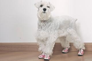 foto cachorro schnauzer com sapato
