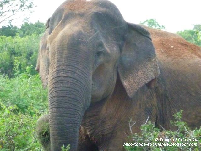 elephants de yala au sri lanka