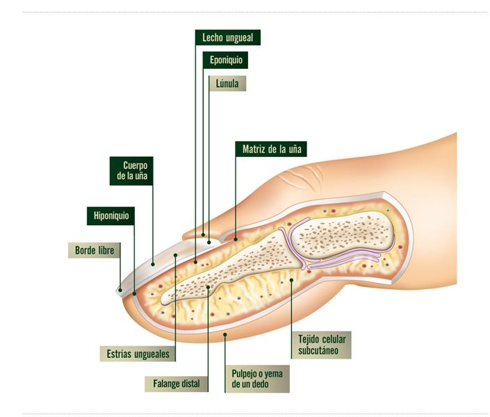 Fantástico Dedo Del Pie De Anatomía De Uñas Ilustración - Anatomía ...