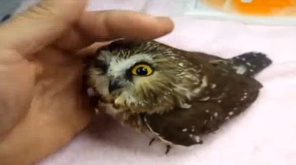 (Daily Cute) These Adorable Owls Will Melt Your Heart (Video)