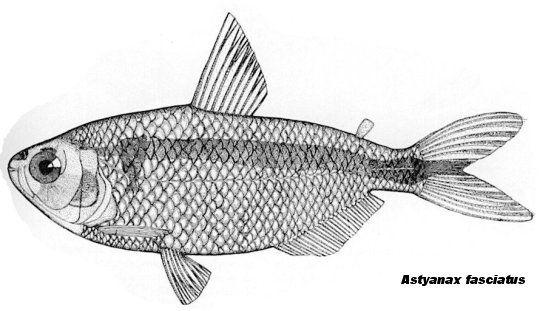 Astyanax atratoensis - fishbase.us