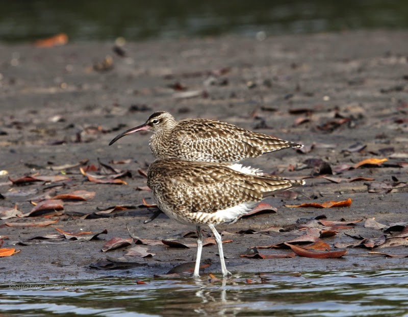 Whimbrels near the Lamin Lodge in The Gambia