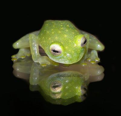 Frog, Batrachian, Cute, Green, Amphibian