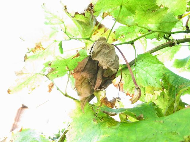 Leaves dying on Black Hamburg Vine