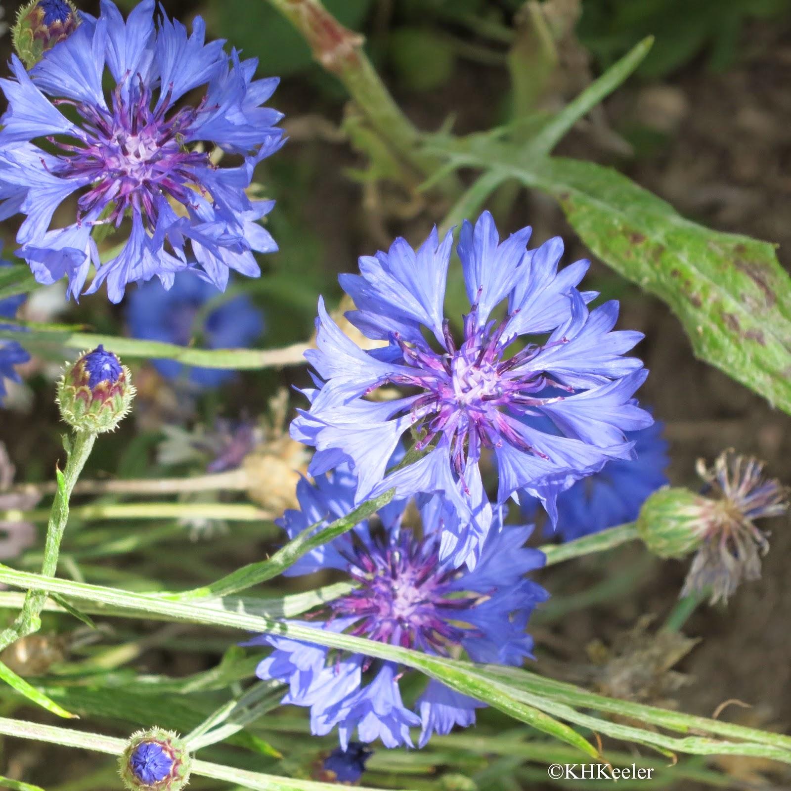 bachelor buttons, Centaurea cyanus