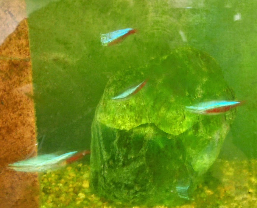 Neon Tetras out of focus.