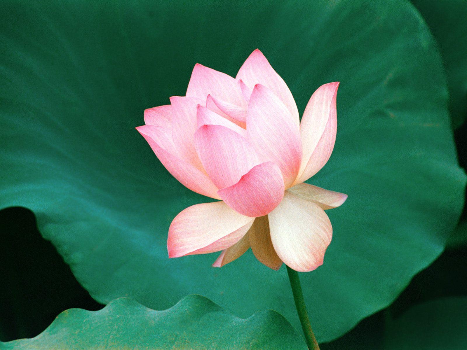 http://2.bp.blogspot.com/-ji-4o8iAyk0/ULZgOpdjGhI/AAAAAAAAAqM/H3_XboyTF4w/s1600/pink%20lotus%20flowers%204.jpg