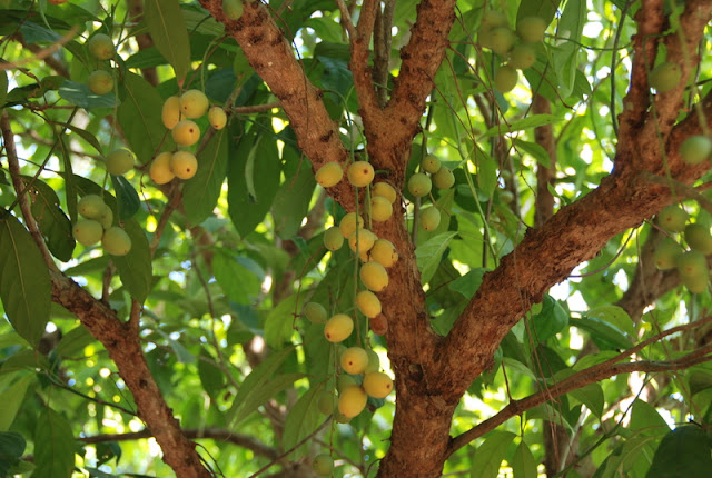 An Khanh fruits jardin, Ben Tre