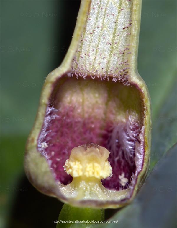 Corte longitudinal de flor de Aristoloquia con estambres maduros.