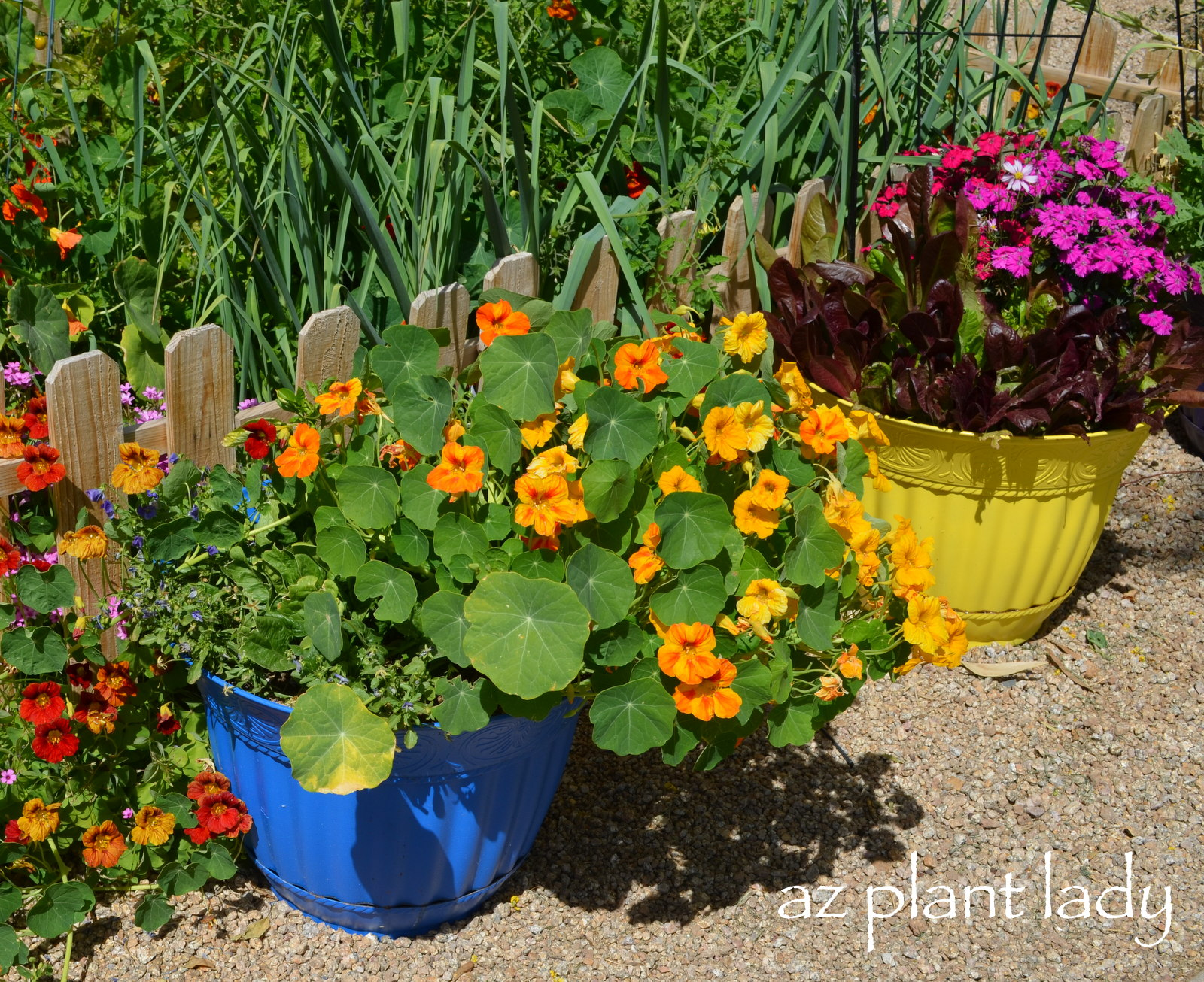 Vegetable and flower containers ramblings from a desert garden - Best flower combinations for containers ...