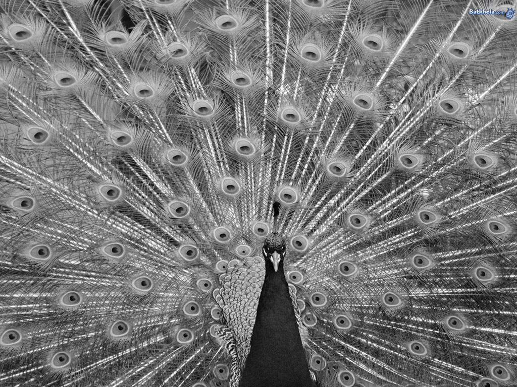 Peacock black and white picture - photo#7