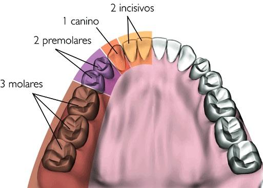 Anatomía Dental 1: Premolares