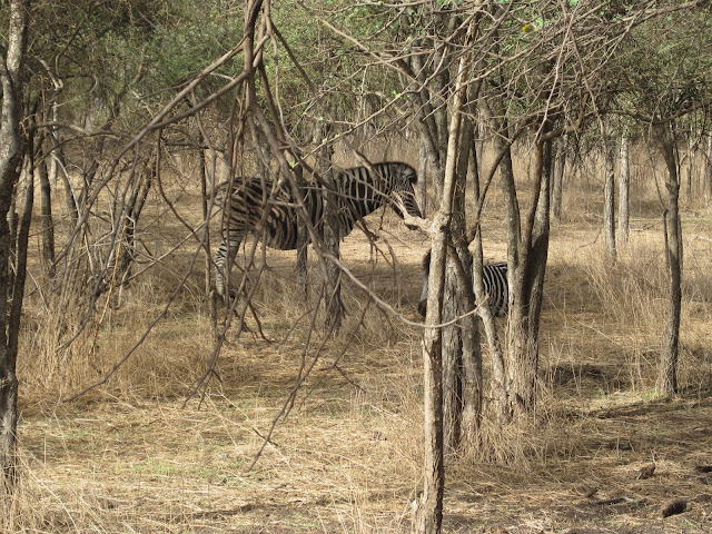 Cebras en la Reserva de Bandia, Senegal