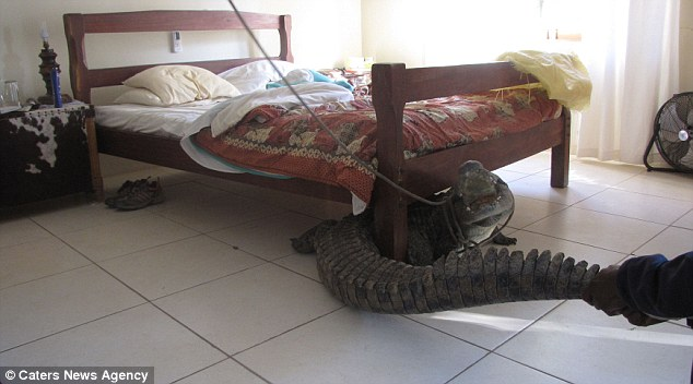 Breakfast in bed? Terrified man finds an 8ft crocodile hidden under his bed after it spent entire night just inches from where he slept