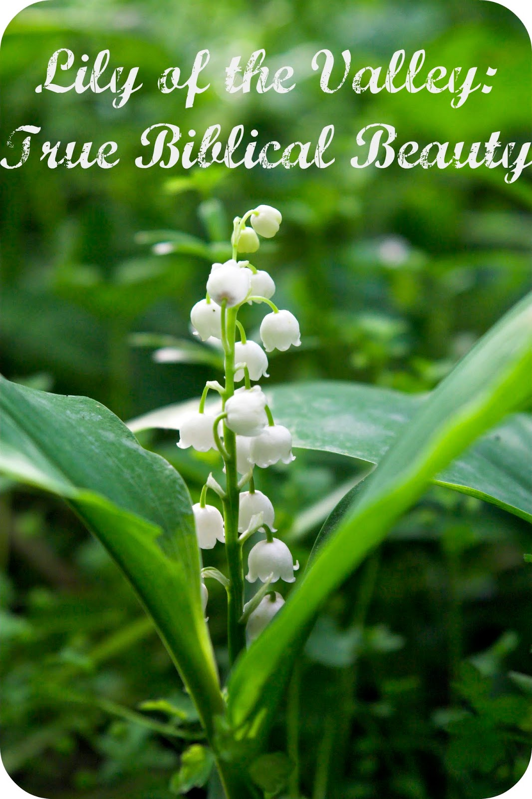 Lily of the valley true biblical beauty intro whispers to the heart lily of the valley true biblical beauty intro izmirmasajfo