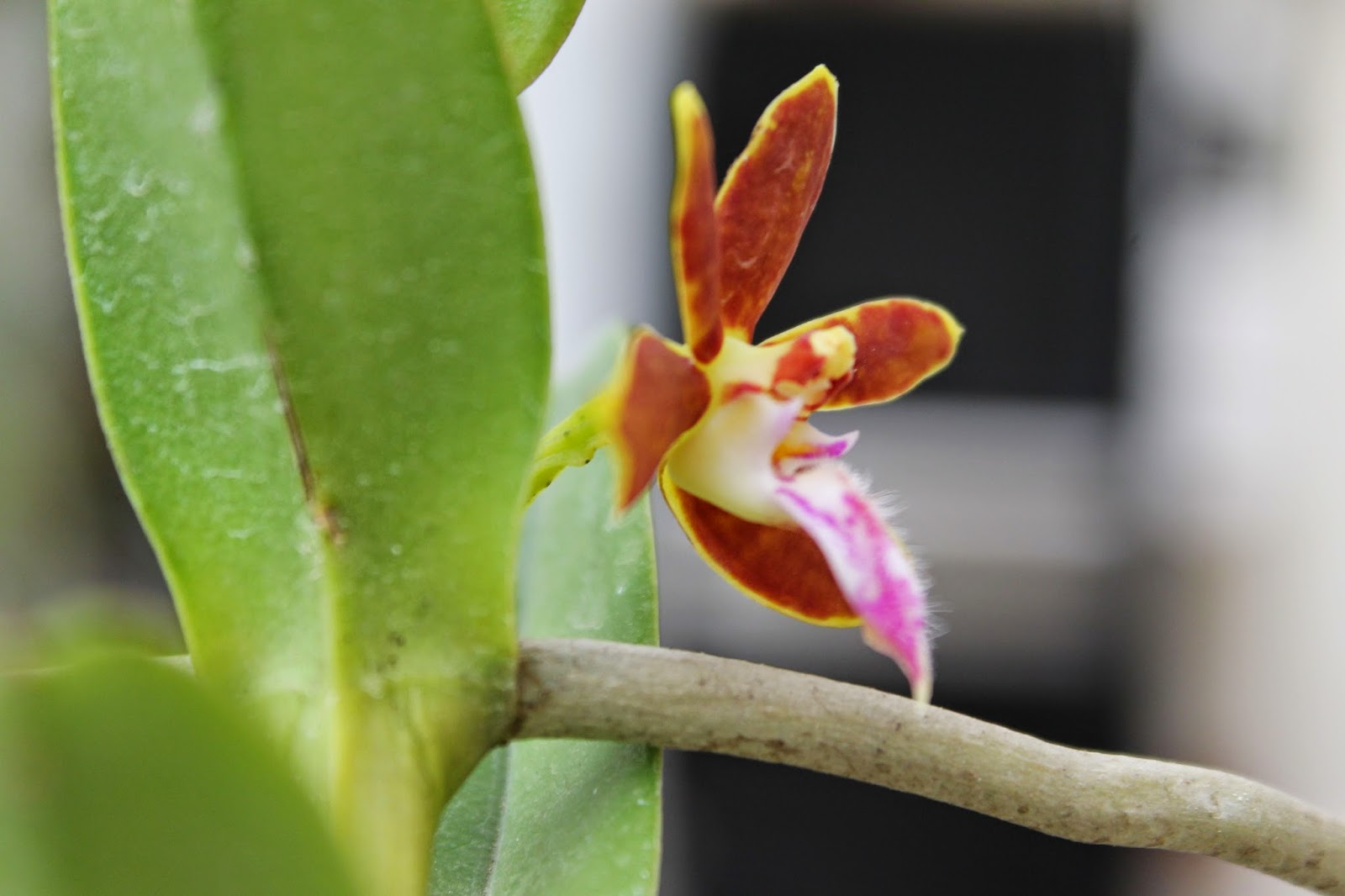 Happy Orchids Trichoglottis Philippinensis