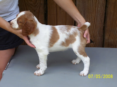 Brittany Puppies Pictures Images