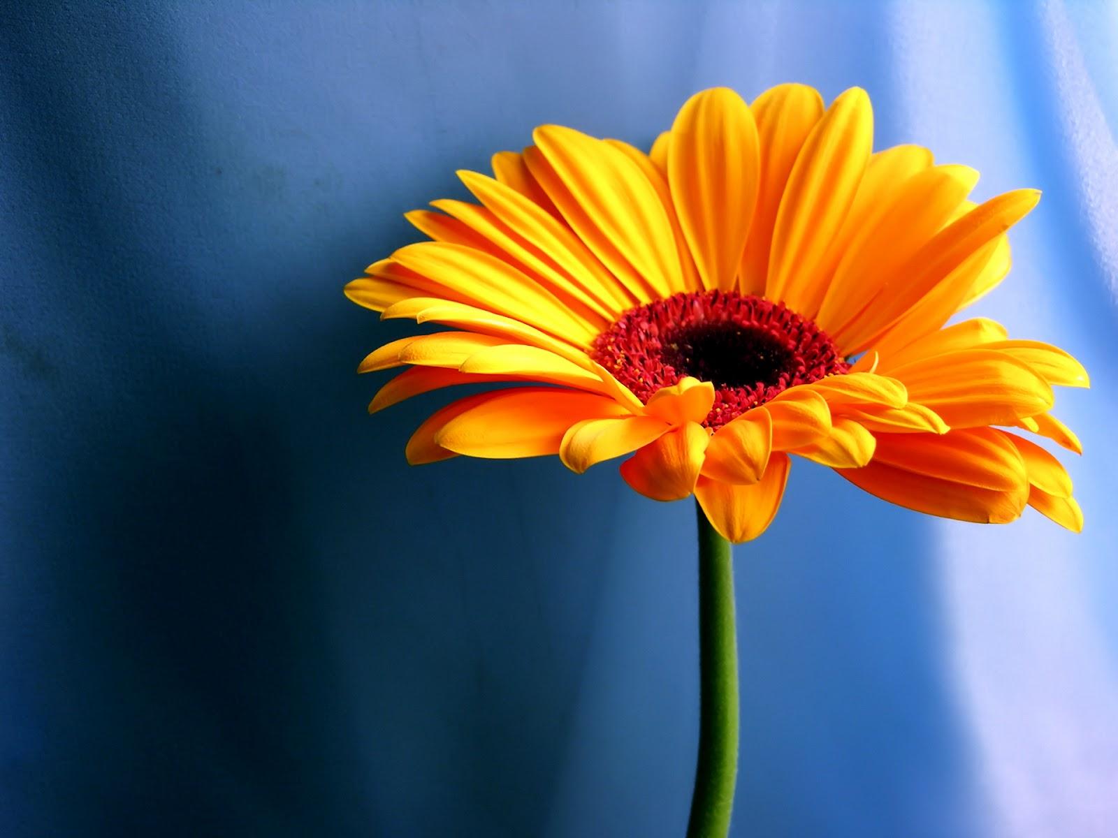 flowers for flower lovers daisy flowers desktop wallpapers