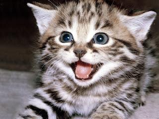 cat animal wallpaper