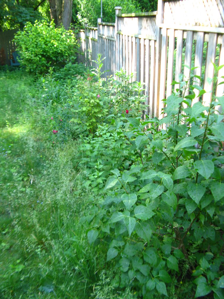 Toronto backyard garden bed before weeding and edging by Paul Jung Gardening Services