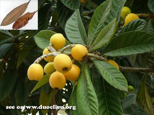 Eriobotrya japonica (Thunb.) Lindl. (Fam. Rosaceae)