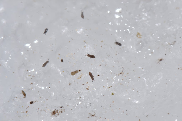springtails on ice in the winter