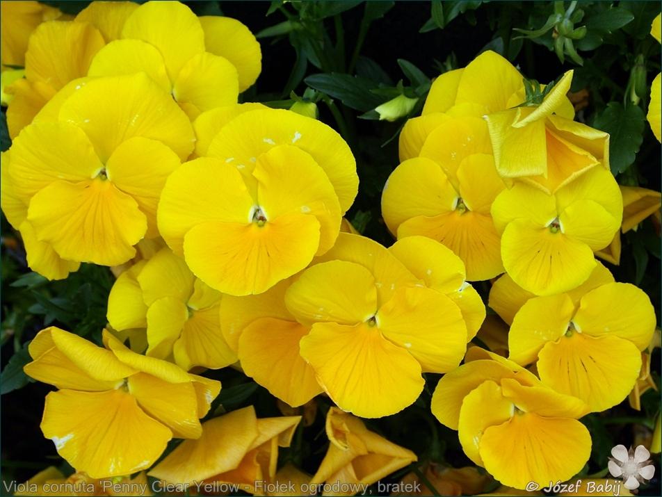 Viola cornuta 'Penny Clear Yellow' - Fiołek ogrodowy, bratek