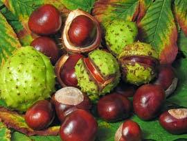 Fruto del castaño de indias