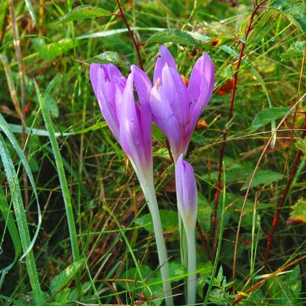 Autumn Crocus (Colchicum Autumnale) Overview, Health Benefits, Side effects
