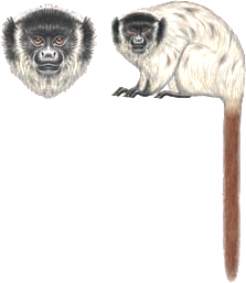 Blond titi monkey