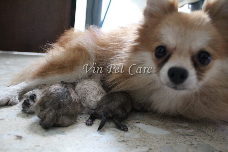 Pomelily Giving Birth Pomeranian Ursula Her Babies