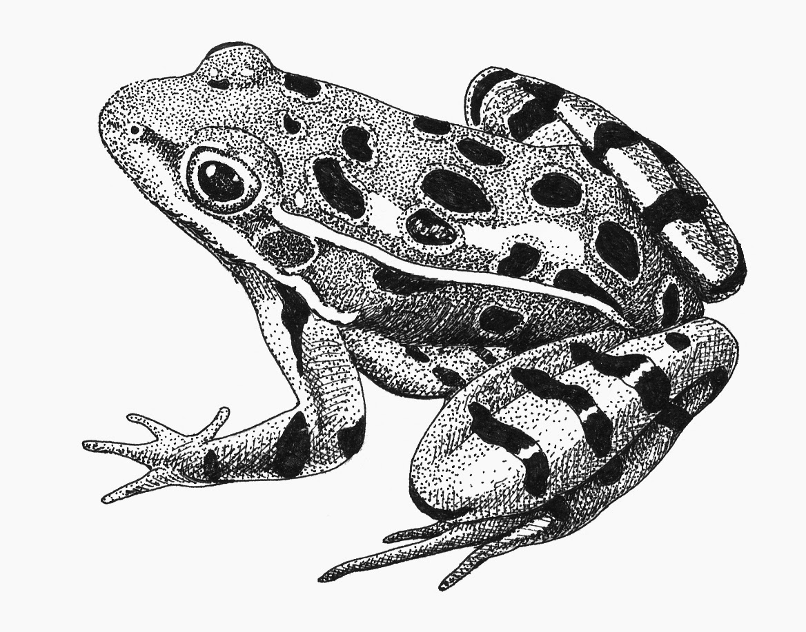 Northern Leopard Frog Drawing Leopard Frog Pen-and-ink