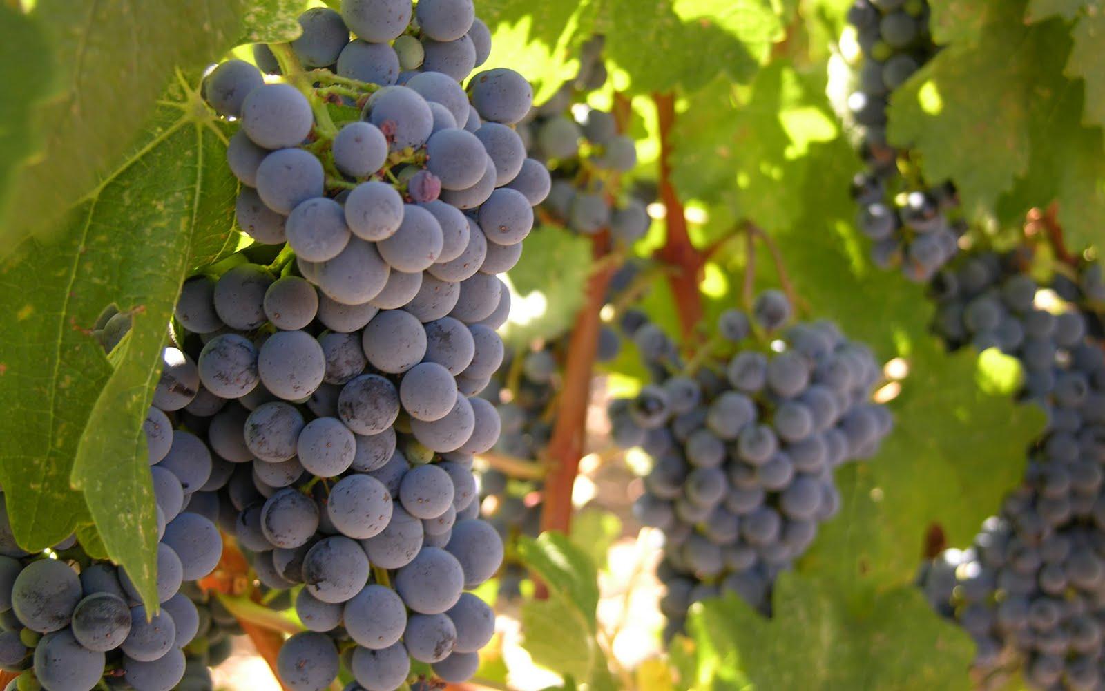 images of grape vines - photo #9