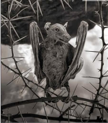 Calcified bat.