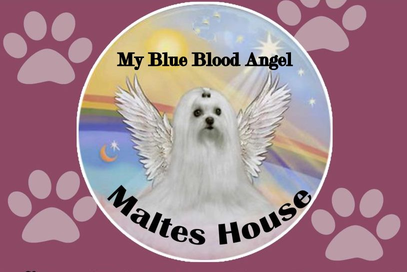 My Blue Blood Angel - Maltés House Uruguay