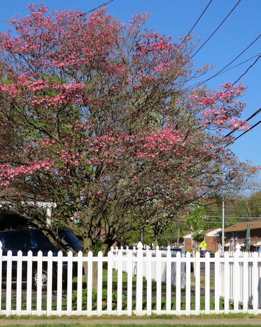 Dogwood-in-Full-Bloom-in-Farmingdale