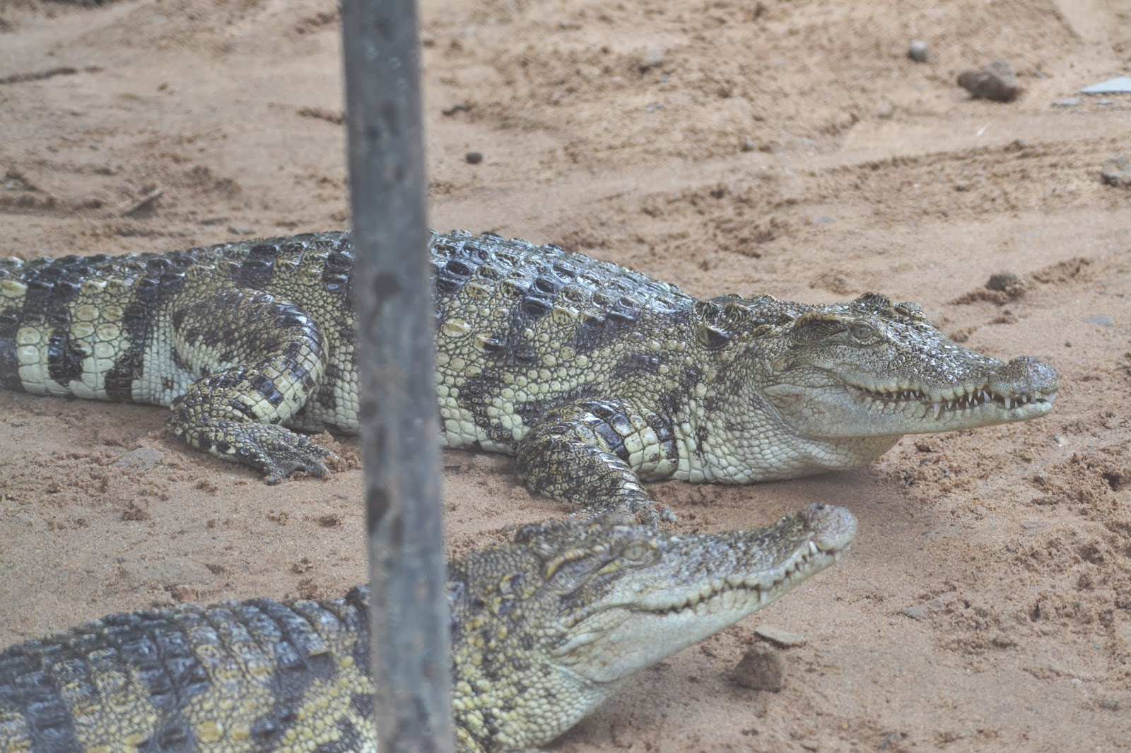 crocodiles at nandankanan zoological park