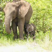 Krugerpark-avonturen - olifant met jong - We zien 10-tallen roodbekbufferwevers bezig met het bouwen van nesten. Krugeravonturen - kamp Satara